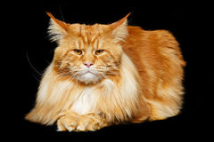 Beautiful maine coon cat Royalty Free Stock Photography