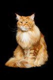 Beautiful maine coon cat Royalty Free Stock Image