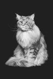 Beautiful maine coon cat Stock Photography