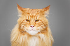 Beautiful maine coon cat Royalty Free Stock Photo