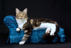 Beautiful Maine Coon cat on blue chaise. Beautiful and pretty brown tabby with white Maine Coon cat sitting on miniature blue chaise sofa on black background Royalty Free Stock Photography