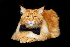Beautiful maine coon cat with bow tie Stock Photos