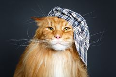Beautiful maine coon cat in hat stock images