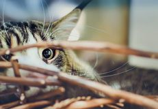Beautiful Maine Coon cat lies in a basket. Eye close-up stock photos