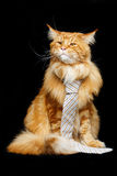Beautiful maine coon cat with man tie royalty free stock image