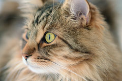 Portrait of beautiful cat Royalty Free Stock Photography