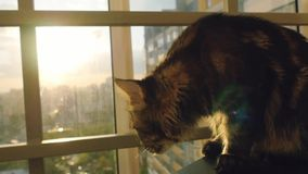 Beautiful maine coon cat sitting on the window watch sunset stock video