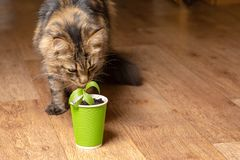 A beautiful Maine Coon cat sniffs a flower in a paper green glass stock images