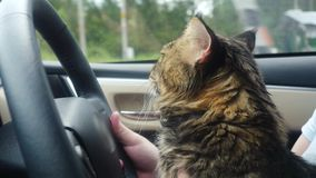 Beautiful Maine Coon cat traveling with a host in car sits on his feet at the steering helm. 3840x2160. 4k stock video