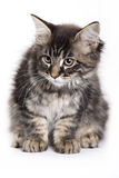 Beautiful Maine Coon kitten Royalty Free Stock Photo