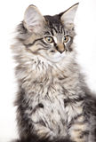Beautiful Maine Coon kitten Royalty Free Stock Images