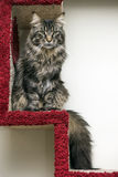 Beautiful Maine Coon Royalty Free Stock Photos