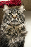 Beautiful Maine Coon Royalty Free Stock Photo