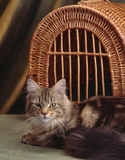 Beautiful maine coon Royalty Free Stock Photography