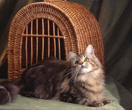 Beautiful maine coon Stock Images