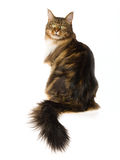 Beautiful Maine Coon on white background Royalty Free Stock Photography