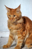 Beautiful Maine Coon Royalty Free Stock Images
