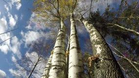 Beautiful majestic birch tree trunks in autumn, time lapse 4K. Beautiful majestic birch tree trunks in autumn wind, time lapse 4K stock video footage