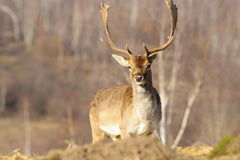 Beautiful majestic fallow deer stag Royalty Free Stock Images