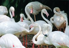 Beautiful and majestic flamingo birds with large beaks. Clean feathers royalty free stock photos