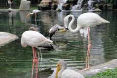 Beautiful and majestic flamingo birds with large beaks. Clean feathers stock photo