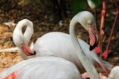Beautiful and majestic flamingo birds with large beaks. Clean feathers royalty free stock photo