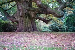 Beautiful Majestic Giant Oak Tree Stock Photo