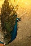 Beautiful majestic male peacock with blue head Royalty Free Stock Images