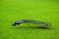 Beautiful majestic male peacock Stock Photos