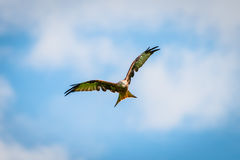 Beautiful majestic red kite bird with opened wings Royalty Free Stock Photos