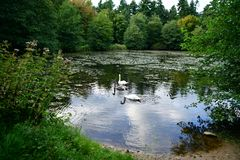 Swans family with a young gray on the lake Stock Photography