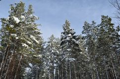 Beautiful majestic snowy pine tree forest in winter. Sunshine Stock Images