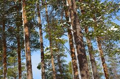 Beautiful majestic snowy pine tree forest in winter. Sunshine Stock Photography