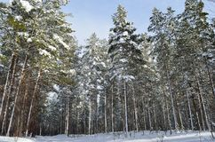 Beautiful majestic snowy pine tree forest in winter. Sunshine Royalty Free Stock Photography