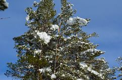 Beautiful majestic snowy pine tree forest in winter. Sunshine Royalty Free Stock Photo