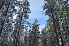 Beautiful majestic snowy pine tree forest in winter sunshine. In the arctic circle Royalty Free Stock Photography