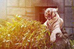 Beautiful and majestic white tiger growls. And shows its fangs Royalty Free Stock Image