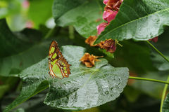 A beautiful Malachite butterfly on a wet leaf Royalty Free Stock Image