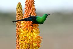 Beautiful Malachite Sunbird Stock Image