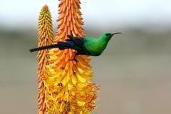 Beautiful Malachite Sunbird stock image