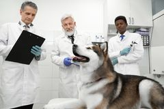 Beautiful malamute and three vets observing him in clinic. Beautiful big dog, alaskan malamute lying in medical cabinet. Three veterinary doctors working in royalty free stock photography