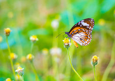 Beautiful Malay Tiger butterfly on a flower in nature Royalty Free Stock Images