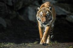 Beautiful malayan tiger female walking straight Stock Photo