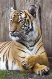 Beautiful Malaysian tiger Royalty Free Stock Photography