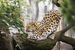 Beautiful Malaysian tiger Stock Photography