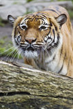Beautiful Malaysian tiger Stock Image