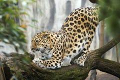 Beautiful Malaysian tiger Royalty Free Stock Image