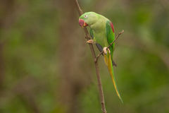 Beautiful male Alexandrine Parakeet Psittacula eupatria. The Alexandrine parakeet or Alexandrian parrot Psittacula eupatria is a member of the psittaciformes Royalty Free Stock Photography