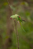 Beautiful male Alexandrine Parakeet Psittacula eupatria. The Alexandrine parakeet or Alexandrian parrot Psittacula eupatria is a member of the psittaciformes Stock Photography
