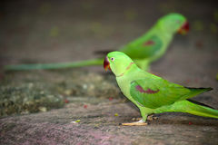 Beautiful male Alexandrine Parakeet Psittacula eupatria. The rose-ringed parakeet Psittacula krameri, also known as the ring-necked parakeet, is a gregarious Stock Photography